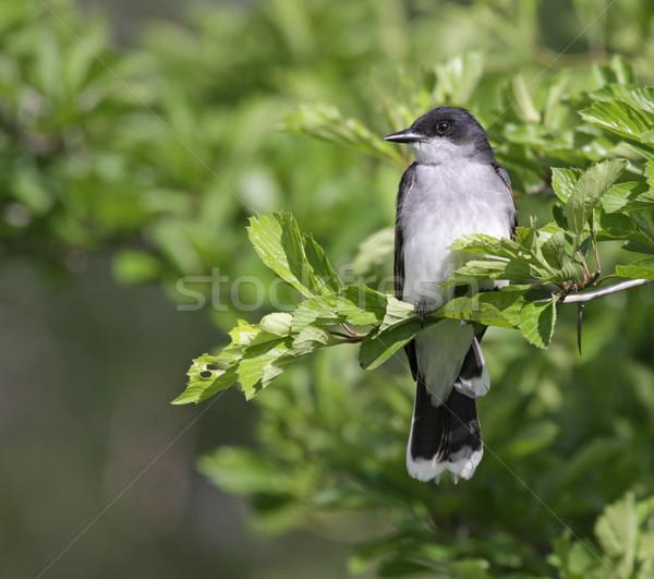 Perched Eastern Kingbird Stock photo © ca2hill