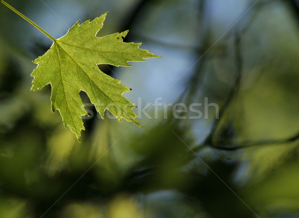 Green Maple Leaf Stock photo © ca2hill