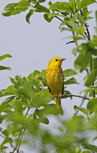 Geel vergadering boom zingen Stockfoto © ca2hill