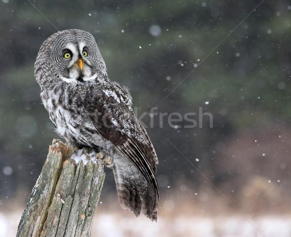 Gri bufniţă uita zăpadă Imagine de stoc © ca2hill