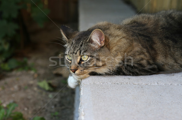 Resting Cat
