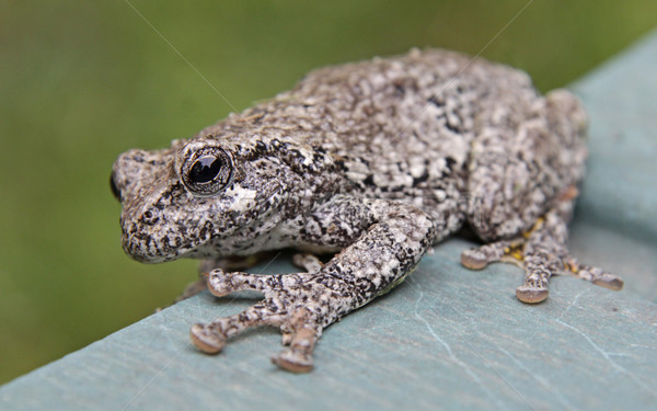 Tree Frog on the Edge Stock photo © ca2hill