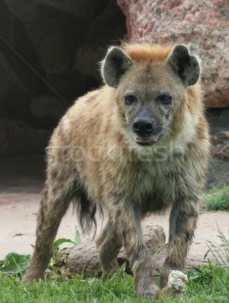Hyäne stehen Knochen vertikalen säugetier Stock foto © ca2hill