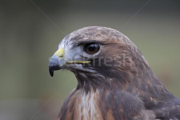 Falcão retrato cara natureza aves perfil Foto stock © ca2hill