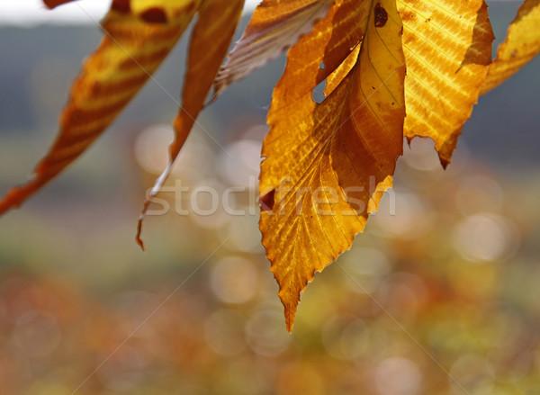 Copac frunze cădea înapoi toamnă frunze Imagine de stoc © ca2hill