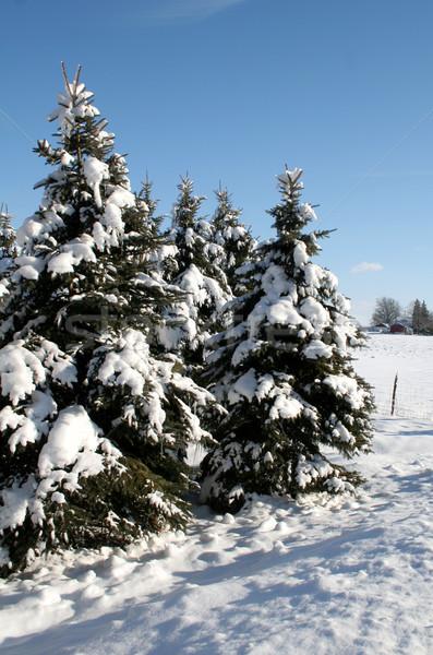 Rural Snowy Evergreens Stock photo © ca2hill