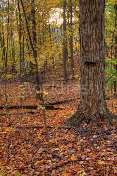 Tree and Fall Sun Stock photo © ca2hill