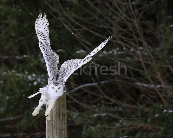 Bagoly felszállás elvesz repülés szemek tél Stock fotó © ca2hill