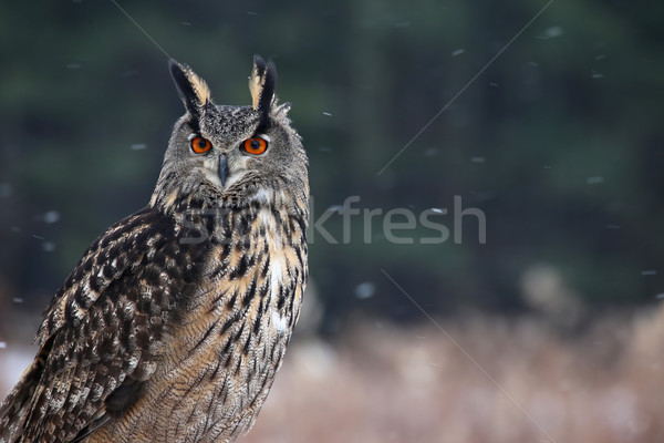 Eagle owl regarder séance neige relevant yeux Photo stock © ca2hill