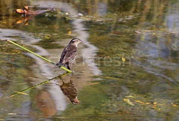 Femenino mirlo reflexión sesión naturaleza aves Foto stock © ca2hill