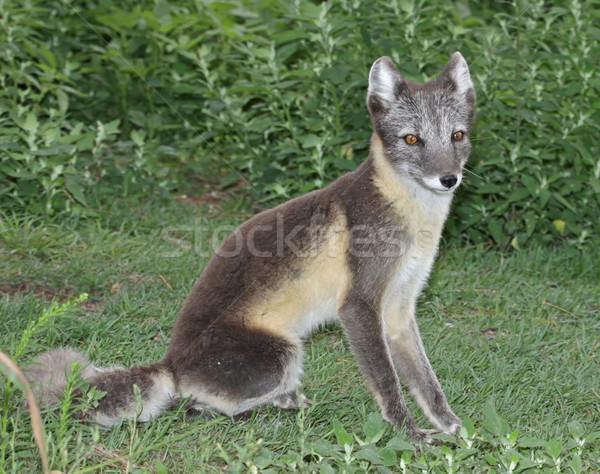 ül sarkköri róka nyár kabát Stock fotó © ca2hill