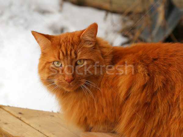 Tabby Cat Sitting Outside Stock photo © ca2hill