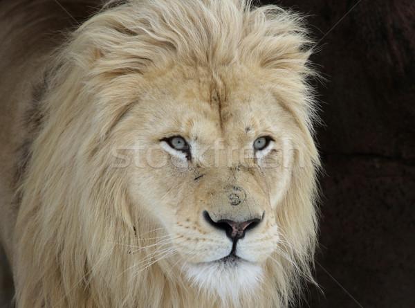 белый лев посмотреть камеры Сток-фото © ca2hill