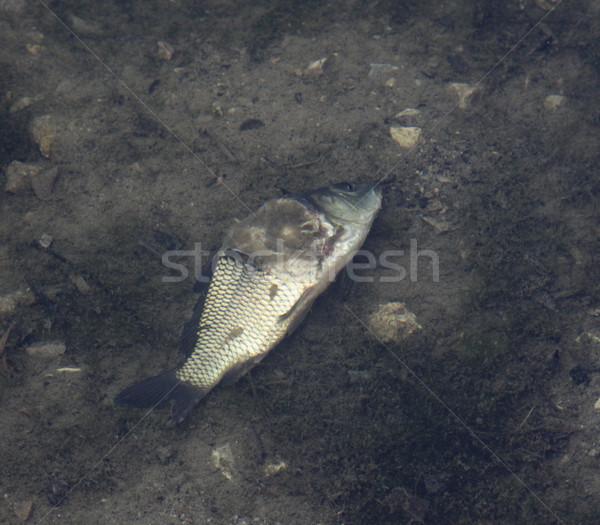 Dead Diseased Fish Stock photo © ca2hill