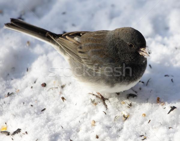 Neve becco seduta uccello Foto d'archivio © ca2hill