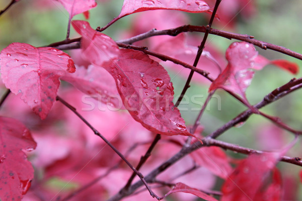 Fall Purple Leaf Sand Cherry Stock photo © ca2hill