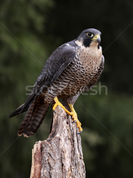 Hungry Peregrine Falcon Stock photo © ca2hill