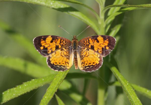 Norte crescente borboleta sessão erva daninha tiro Foto stock © ca2hill