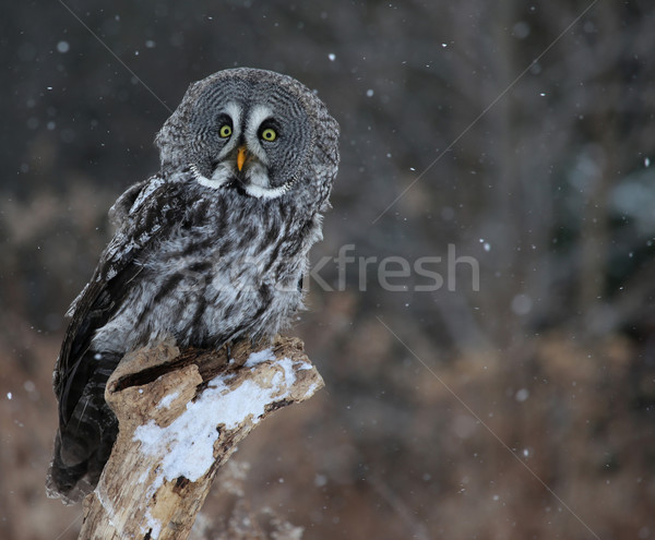 Startled Great Grey Owl Stock photo © ca2hill