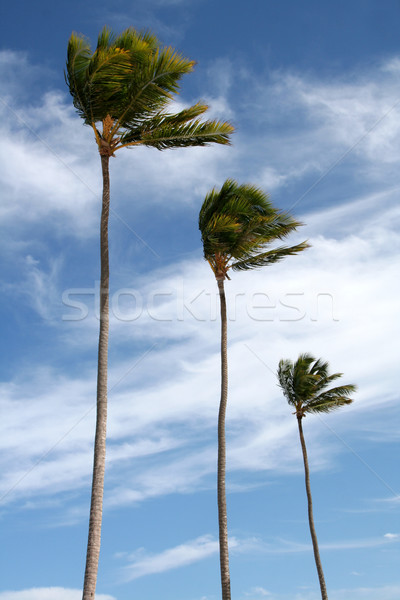 Three Palm Trees Isolated on Blue Stock photo © ca2hill