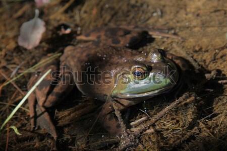 Bullfrog Stare Stock photo © ca2hill