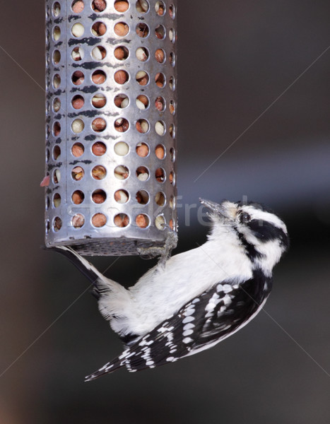 Feeding Downy Woodpecker