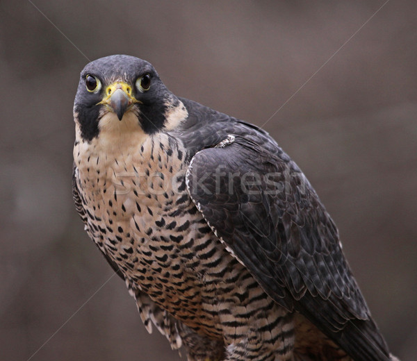 Peregrine Falcon Stare Stock photo © ca2hill