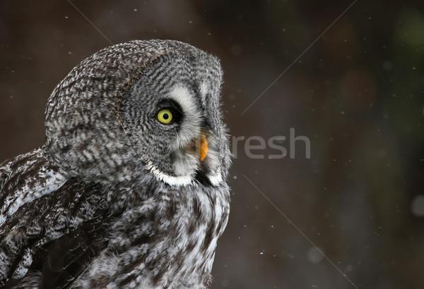серый совы лице снега падение Сток-фото © ca2hill