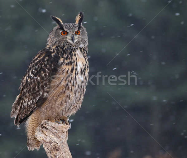 Eagle owl séance neige relevant yeux plumes Photo stock © ca2hill
