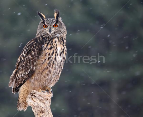 Patient Eurasian Eagle-Owl Stock photo © ca2hill