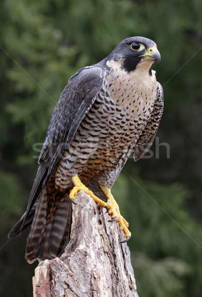 Sitting Peregrine Falcon Stock photo © ca2hill
