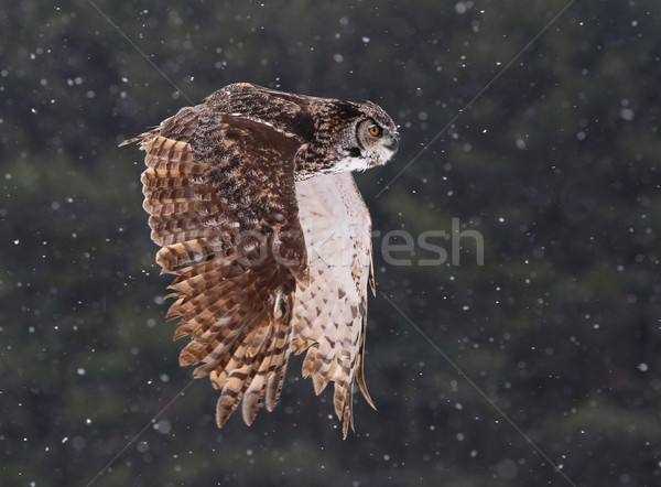 Flying Great Horned Owl