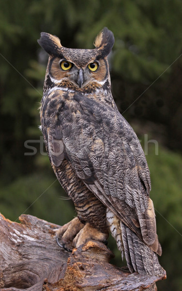 Great Horned Owl Look Stock photo © ca2hill