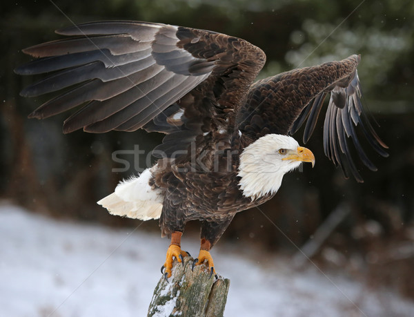 Wings Spread Bald Eagle