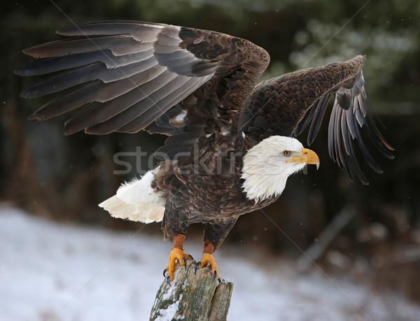 Vleugels kaal adelaar post poseren omhoog Stockfoto © ca2hill