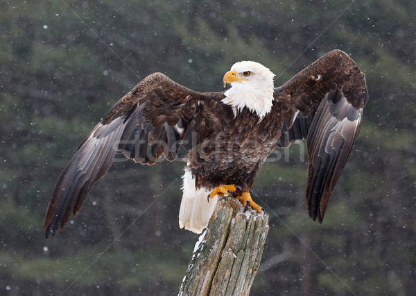 Chauve aigle ailes post posant Photo stock © ca2hill
