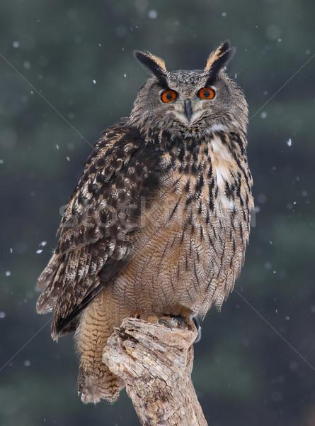 Staring Eurasian Eagle Owl Stock photo © ca2hill