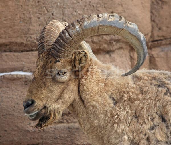 Oeste caucásico carnero cabeza pelo Foto stock © ca2hill