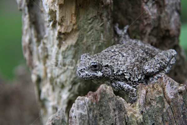 Tree Frog on a Stump Stock photo © ca2hill