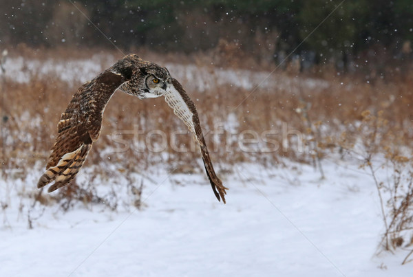 Stock photo: Great Horned Owl Flying