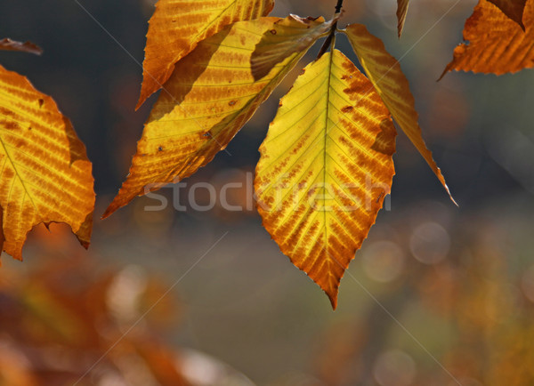 Back lit Beech Tree Leaves Stock photo © ca2hill