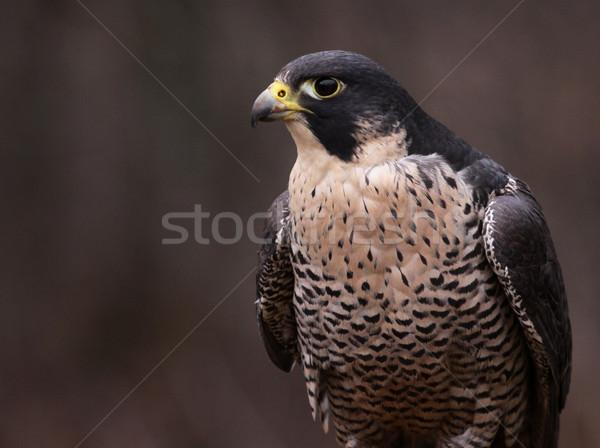 Falcon uccelli animali mondo natura profilo Foto d'archivio © ca2hill