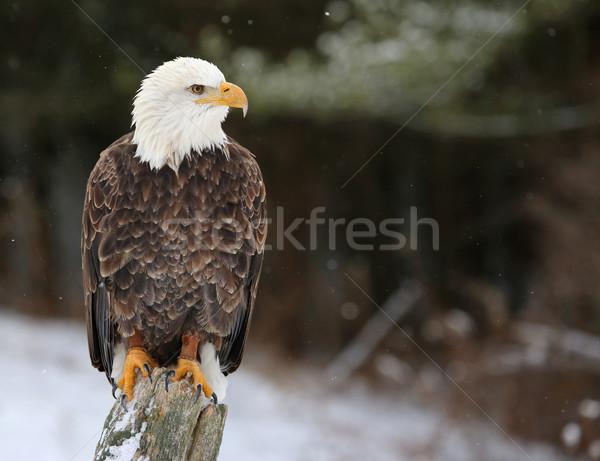 Poupe chauve aigle regarder post neige Photo stock © ca2hill