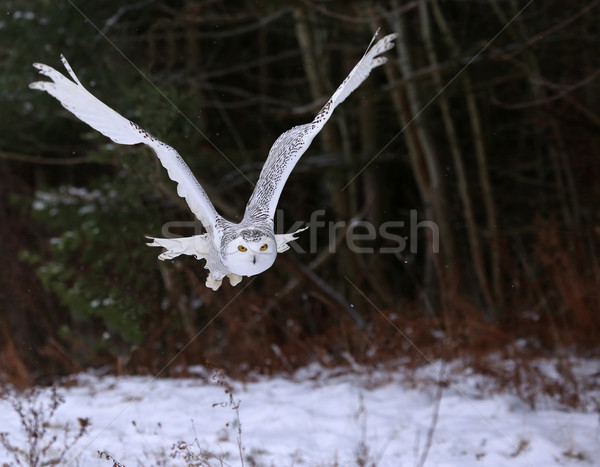 Gliding Snowy Owl Stock photo © ca2hill
