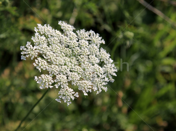 Queen Anne's Lace Stock photo © ca2hill
