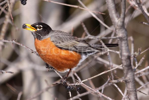 Robin Eating Stock photo © ca2hill