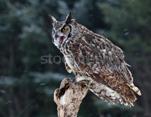 Speaking Great Horned Owl