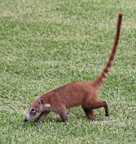 Coati in the Grass Stock photo © ca2hill