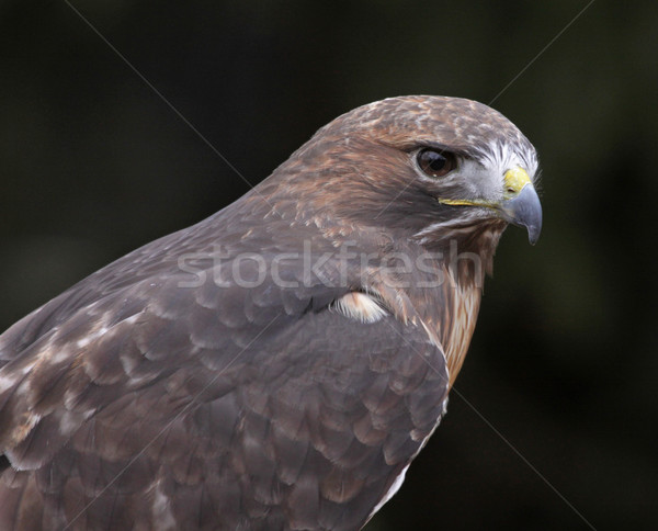 Red-tailed Hawk Face Stock photo © ca2hill