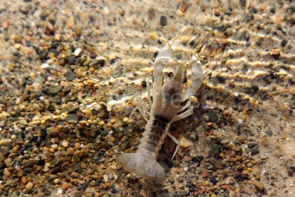 Underwater Crayfish Stock photo © ca2hill